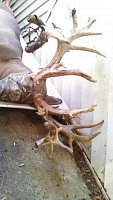 Hunters Tea 2013 Antler Growth - Live fawn / semen contest!-img_20131014_153920_062.jpg