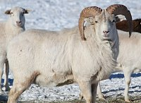 One of my favorite hybrid bighorn sheep-004-800x582-.jpg