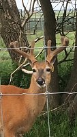 Breeder/cover Buck for sale-img_2390.jpg