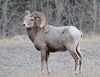 Pure Rocky Mountain Bighorns for sale-015.jpg