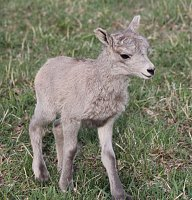 Pure Rocky Mountain Bighorns for sale-april-30-2018-lambs-003.jpg