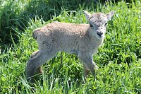 Pure Rocky Mountain Bighorns for sale-stone-ram-2734-004.jpg