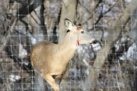 We Had A Attack On Our Deer This Morning-odin-right-side-antler-brokeoff-1.jpg