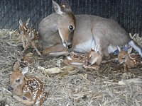 First Fawns of 2014-sdc10213.jpg